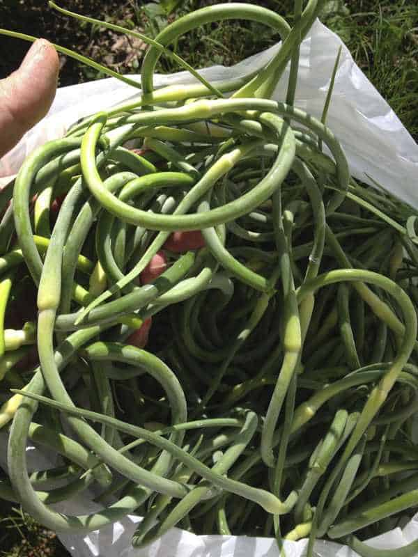 how to cook garlic scapes