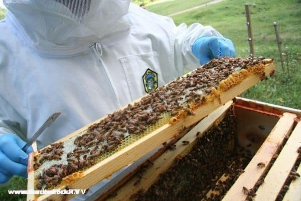Finding the queen in thousands of bees can be hard