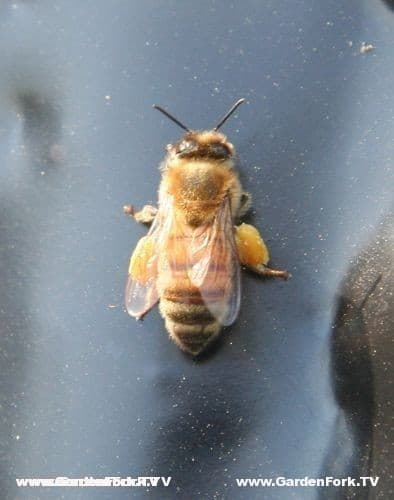 Honey bee with pollen in late winter