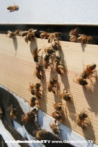 Honeybees brining in a yellow pollen in late winter