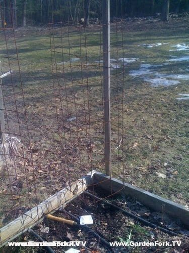 The peas will grow up this tomato cage, then the Labradors will eat them