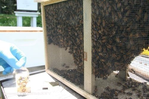 The bees in the package are surrounding the queen cage and the sugar feeder in the box