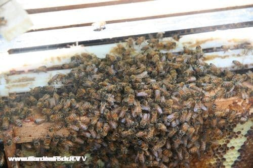 The worker bees cluster around the queen cage that was placed in between the frames.