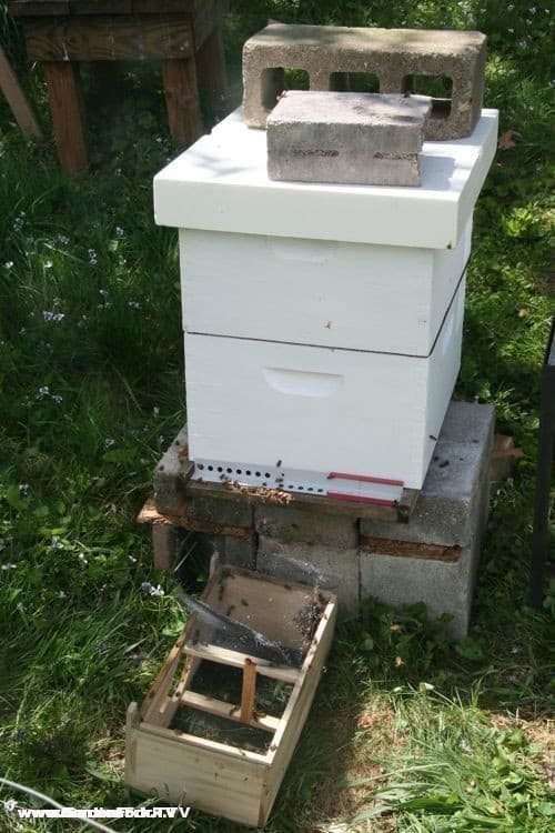 An entrance reducer allows the young hive to defend the entrance from robber bees and yellow jackets. I did not have one of those wooden reducers, so I used a mouse guard.