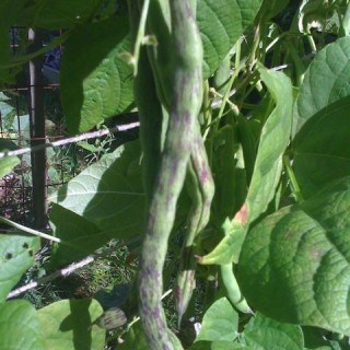 rattlesnake pole beans from fedco seeds