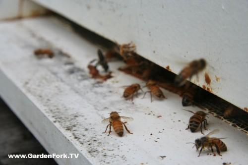 honeybees landing