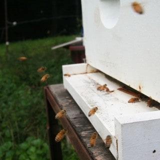 Honeybees landing with pollen on their legs