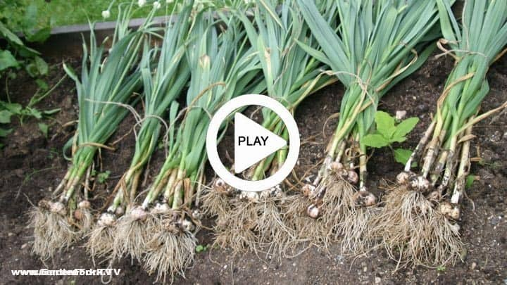 Garlic plant garlic how to grow and plant