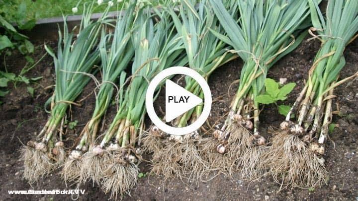 garlic how to grow and plant garlic gf tv gardenfork tv. Black Bedroom Furniture Sets. Home Design Ideas