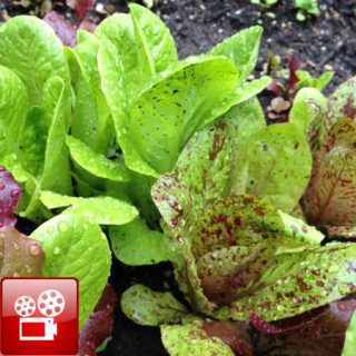 Lettuce used in the balsamic vinegar dressing recipe