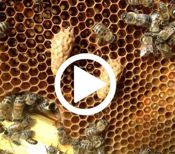 Supersedure Queen Cells - Beginning Beekeeping Video ...