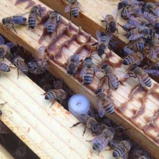 requeening a hive