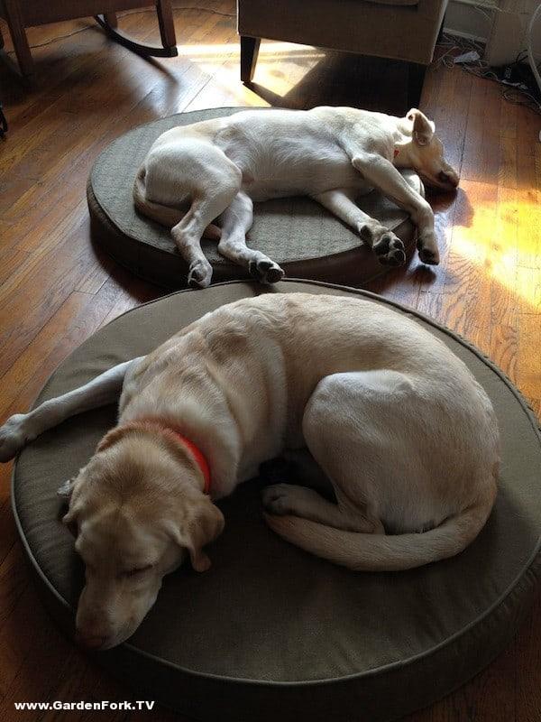 labradors asleep at work