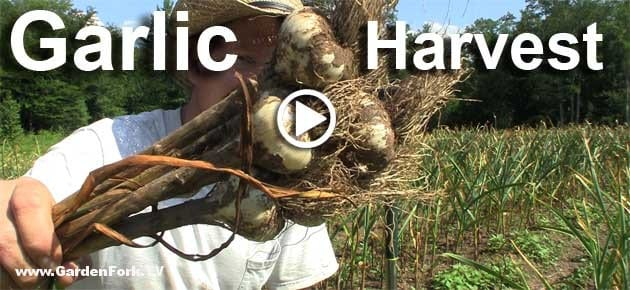 how-to-harvest-garlic-grow-garlic-play