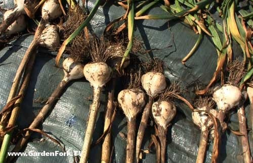 how-to-harvest-garlic-grow-garlic-v