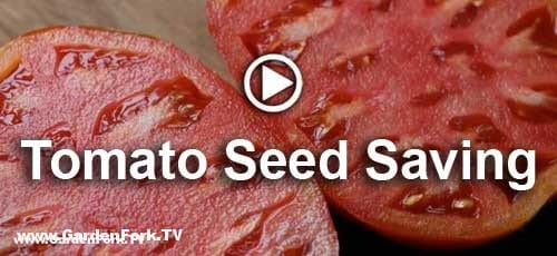 how-to-save-tomato-seeds-4