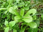 what-is-green-manure