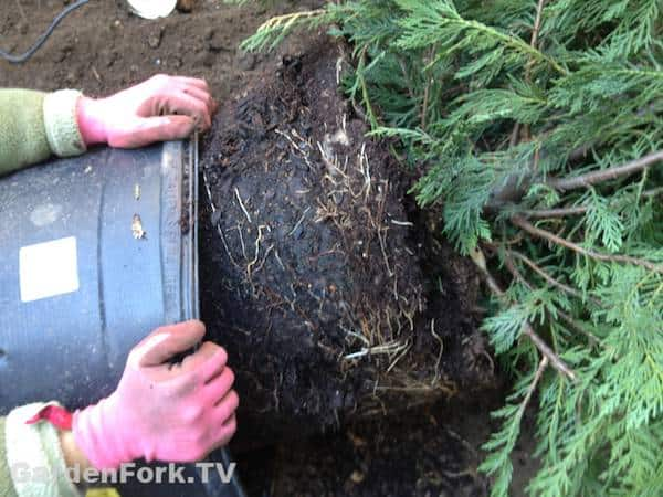 planting-a-tree-next-to-a-tree-stump-is-a-challenge4