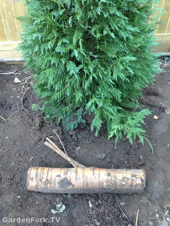 planting-a-tree-next-to-a-tree-stump-is-a-challenge5