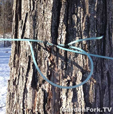 using-tubing-for-tapping-sugar-maples