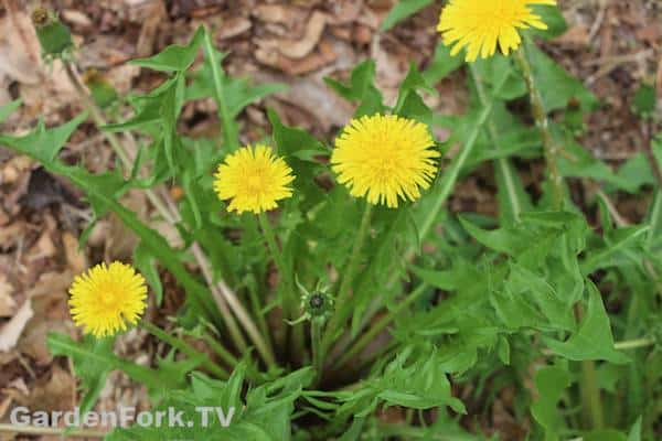 foraging for wild edible plants