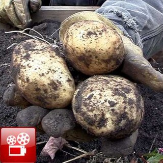 Harvest Potatoes feature