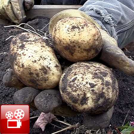 Harvest Potatoes feature