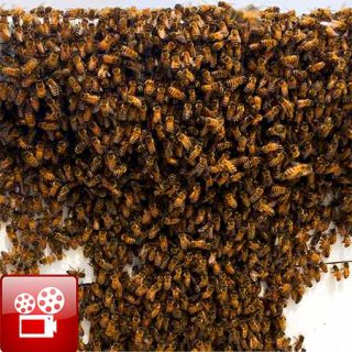 beehive swarm