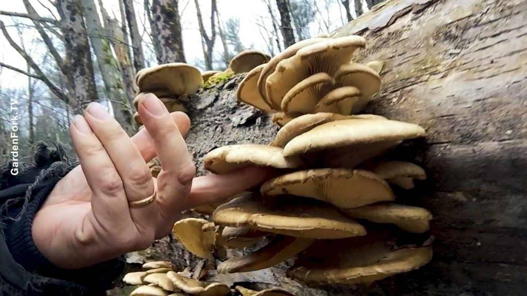 oyster mushrooms on dead tree